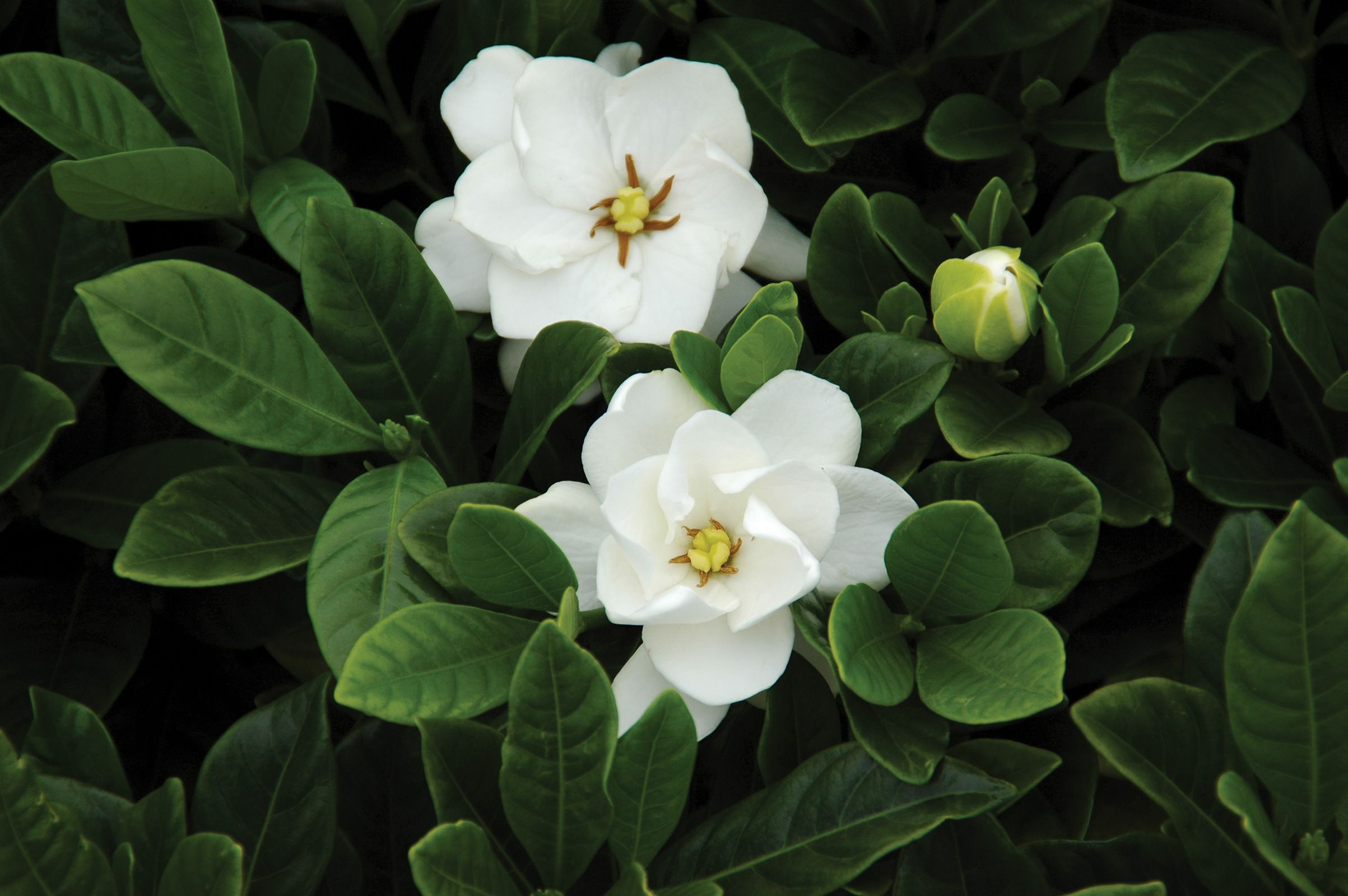 Gardenia Buttons Is As Cute As A Button This Low Maintenance