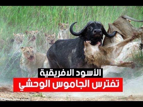 عالم الحيوان والافتراس اقوي واخطر مشاهد افتراس الاسود الافريقية الجامو Deadly Animals Animals Animal Pictures