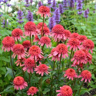 Echinacea Firebird Bluestone Perennials Perennials Beautiful Flowers Plants