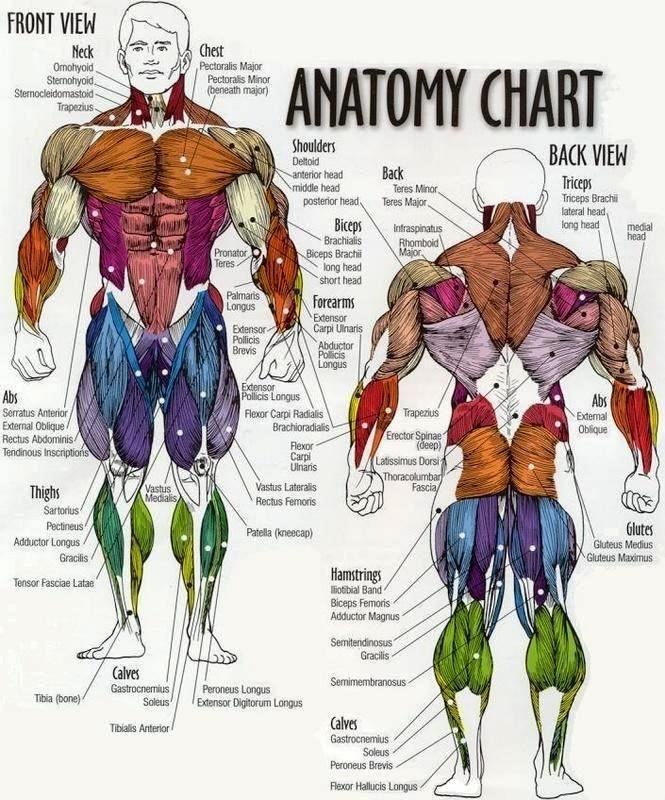 Muscular Anatomy & Physiology | Anatomy | Pinterest