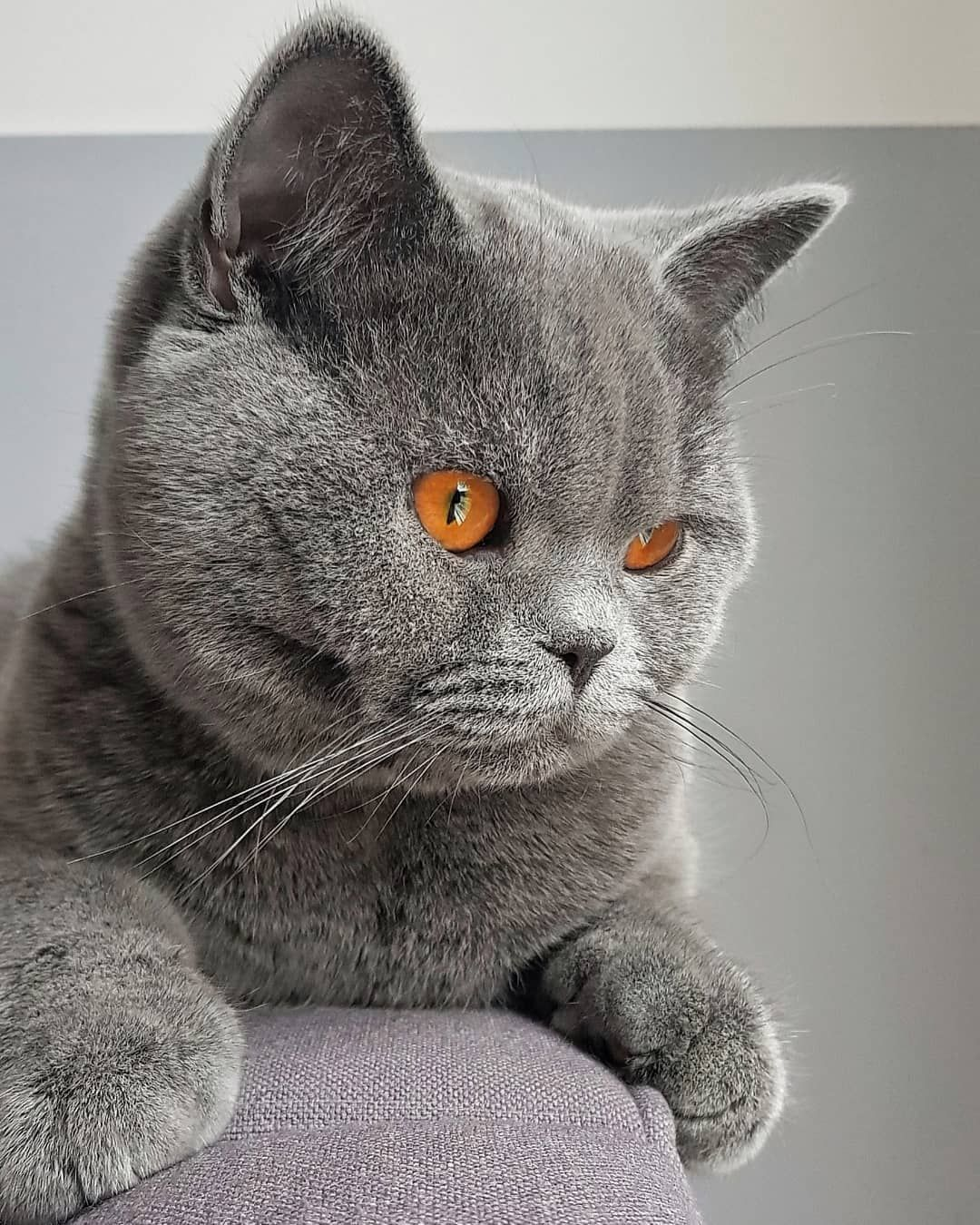 Ollie British Shorthair Amazing Deep Orange Eyes Purebred Cats