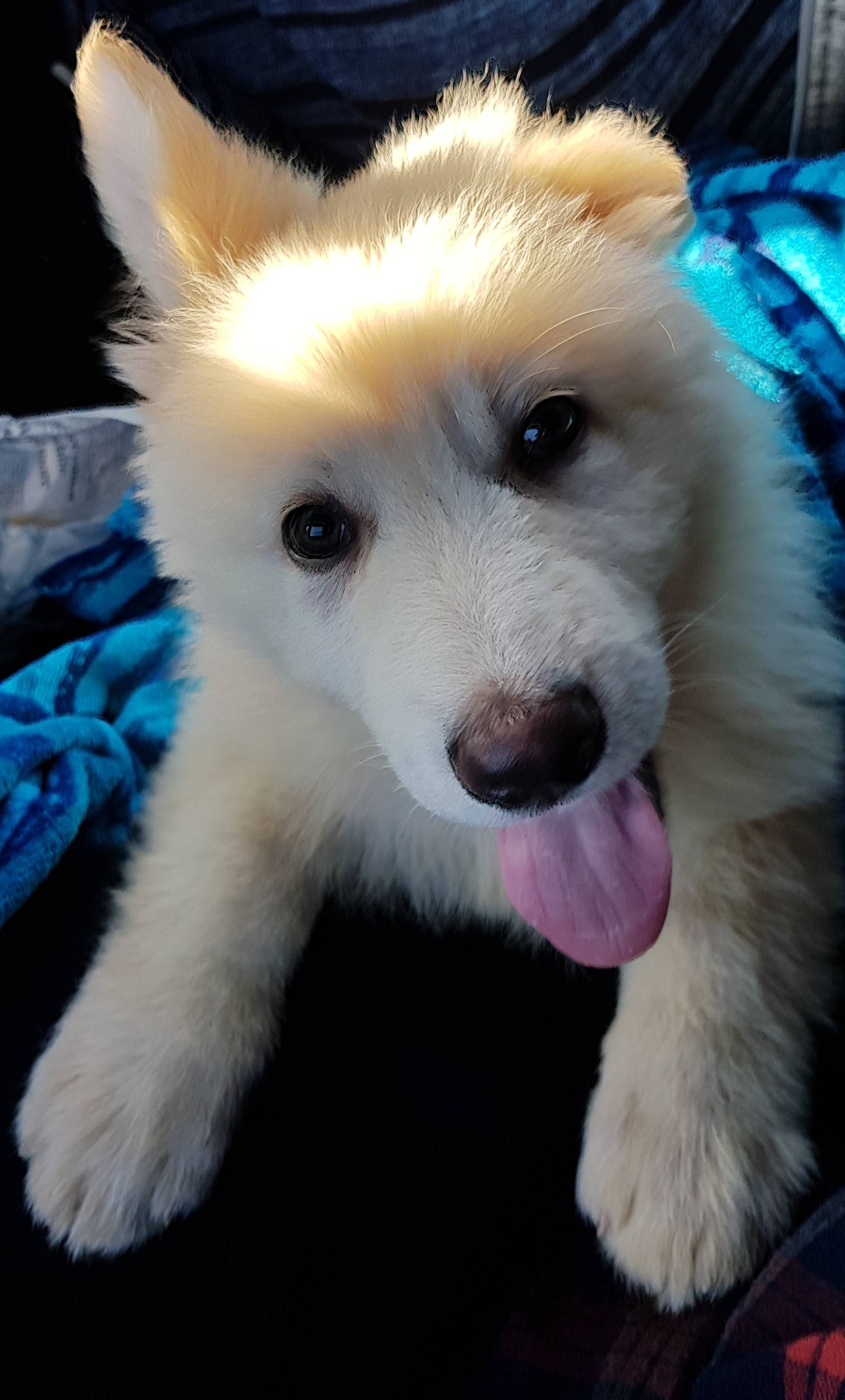Fluffy White German Shepherd Puppies 2021