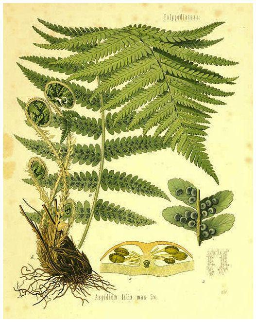 Todo Sobre Helechos Buscar Con Google Dibujos Botánicos Ilustración Planta Grabados Botánicos