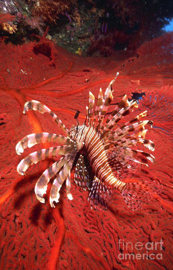 Lionfish and Sea Fan - ©Beverly Factor / StockTrek Images (via FineArtAmerica)