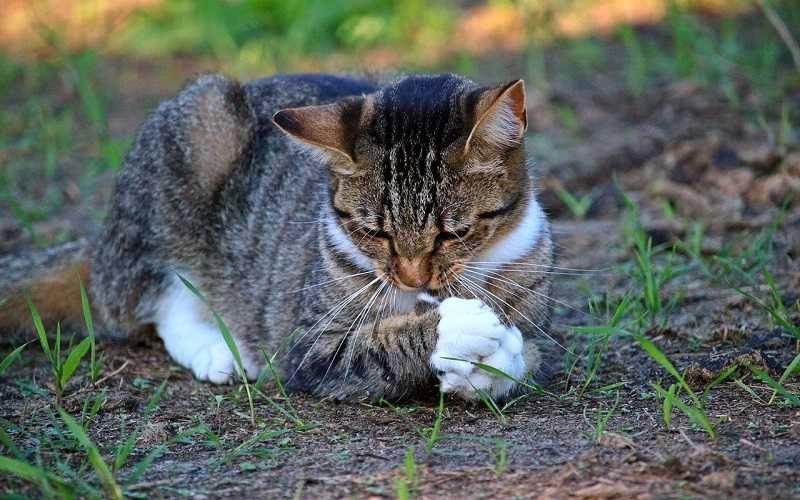 Cat Ear Mites Best Pet Home Remedies Cat Ear Mites Cat Day Cats
