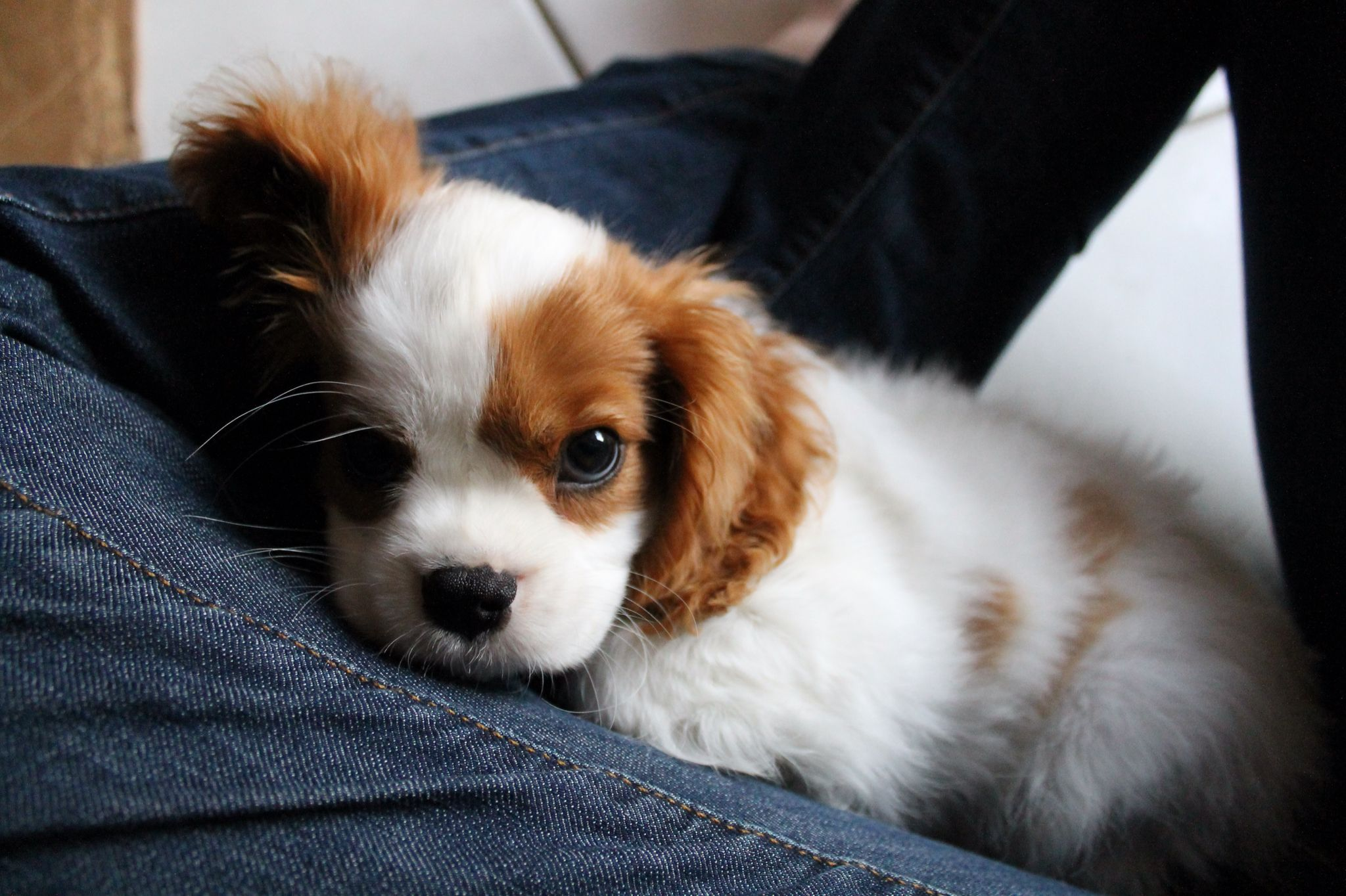 Hobbit At 11 Weeks King Charles Spaniel Charles Spaniel