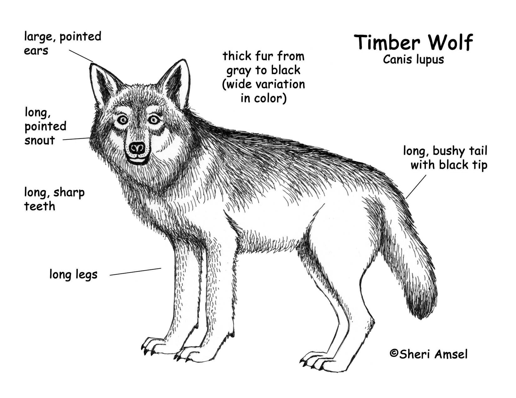 Types Of Wolves Google Search Wolf S Types Of Wolves