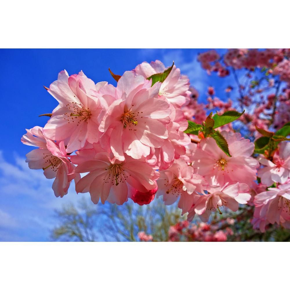 Online Orchards Amanogawa Cherry Blossom Tree Bare Root 3 Ft To 4 Ft Tall Flch009 The Home Depot Cherry Blossom Tree Blossom Trees Cherry Blossom