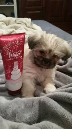 Shih Apso 8 Weeks Old Pets Animals Olds
