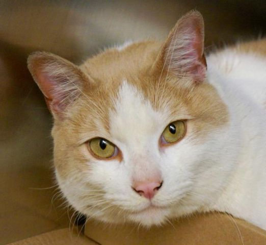 "SAFE ❤️BIGGLESWORTH - A1064323 - - Manhattan Please Share: **TO BE DESTROYED 02/15/16** Don't let an ARRESTED owner be the death of this BEGINNER-rated cat! BIGGLESWORTH is already neutered, he has rave reviews from the ACC staff, and he needs a FOSTER/ADOPTER to save his life tonight! ""A staff member writes, ""The moment I saw this cat, my eyes lit up with recognition. This Mr Bigglesworth is truly the epitomy of the 90's Austin Powers movie and Dr. Evil's tru"