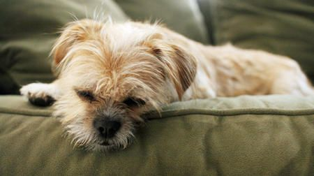 Brussels Griffon Border Terrier Mix Maggie The Border Terrier