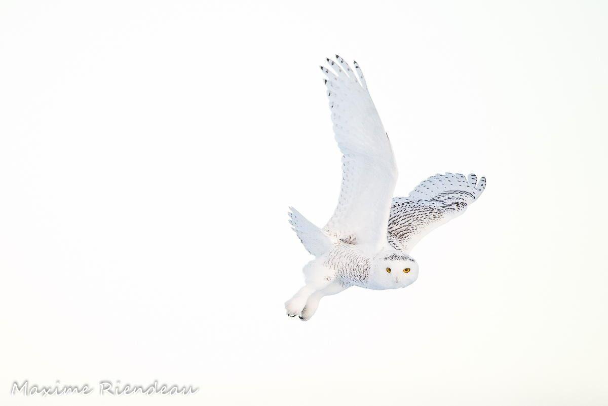 Snowy owl - Snowy owl / Harfang des neiges