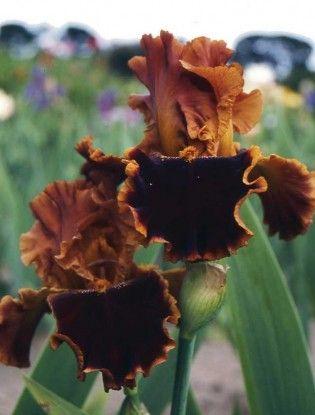 Iris Copatonic Claire Austin Hardy Plants Iris Flowers Iris Garden Brown Flowers