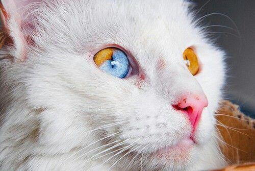6042a7201f Turkish Van cat with partial Heterochromia Iridium (2 color eye ...