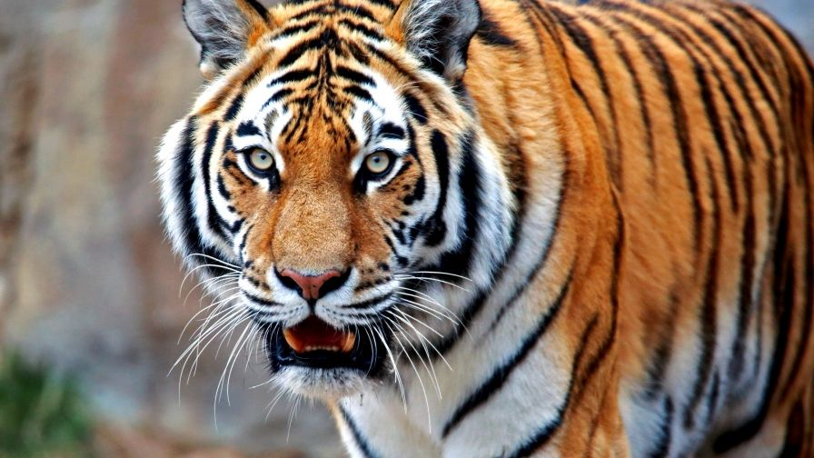 Colorful Tiger Free Download Hd Wallpapers Hd Wallpaper Tiger Animals