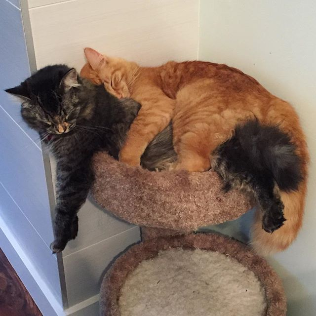 Rens the big spoon, Lili doesn't really have a choice in the matter  #mainecoonstagram #mainecoon #kittylove #cats #kittensofinstagram #cute #catlife #cuddles #aww #babyanimals #animalfriends #love #truelove #tabby