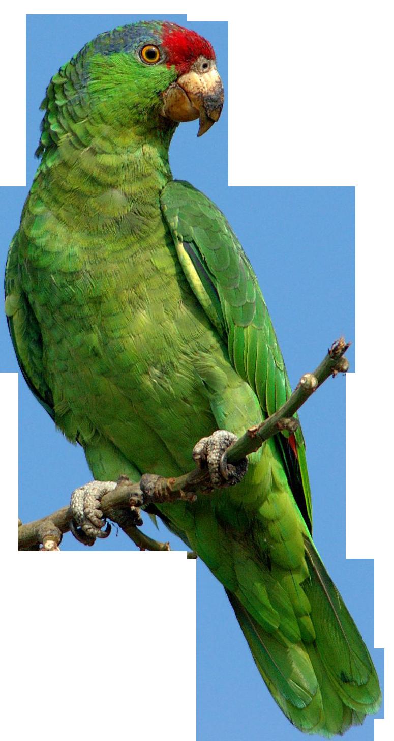 Parrot Png730 Png 775 1456 Parrot Image Parrot Png Images