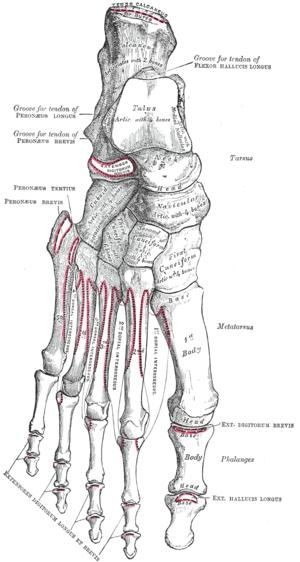 Huesos del pie   anatomia artistica   Pinterest   Huesos, Anatomía y ...