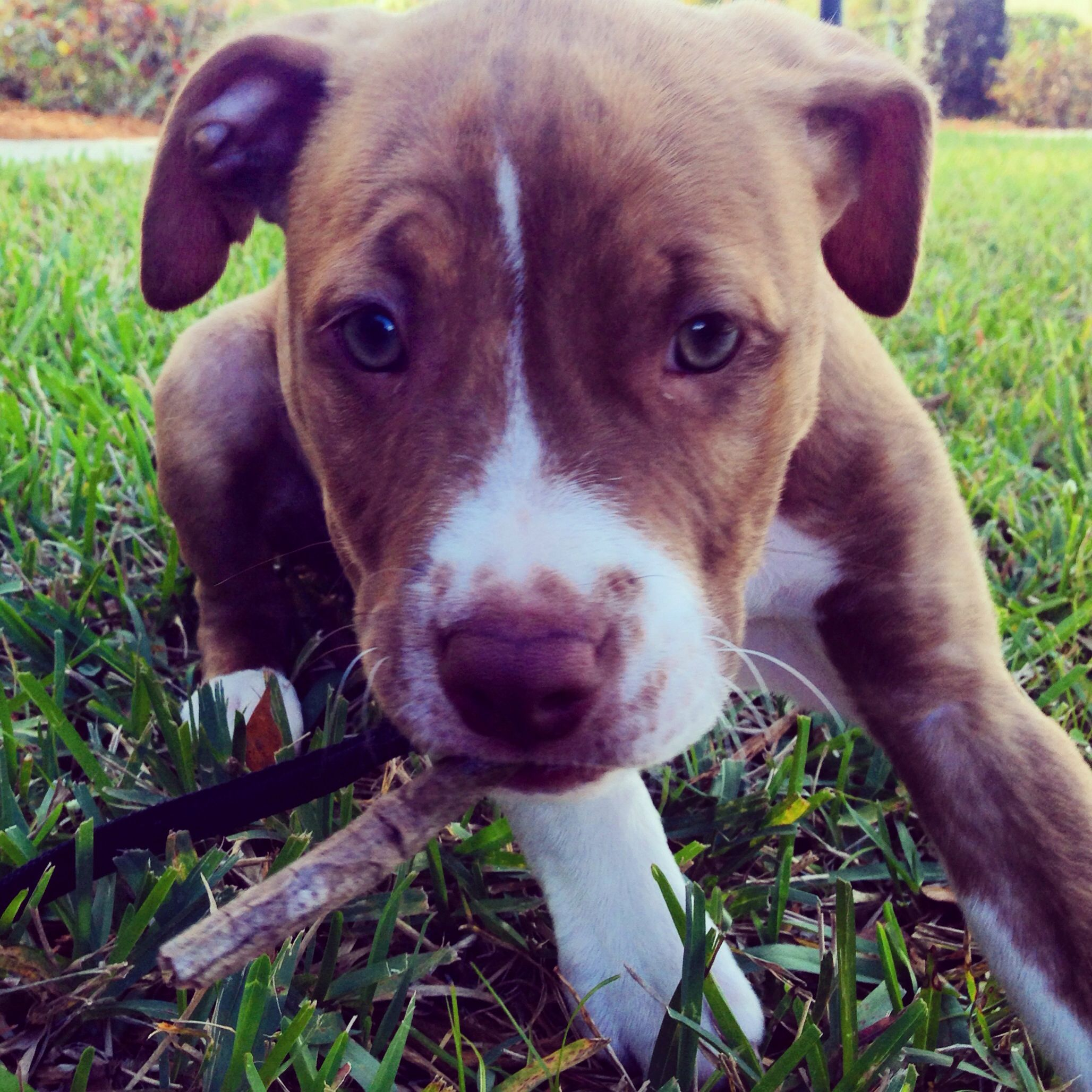 Red Nose Reverse Brindle Pitbull Puppy With Images Puppies And