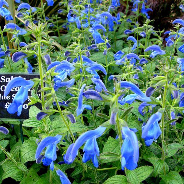 Blue Salvia Plant Pictures Salvia Oceana Blue Salsyll