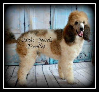 Idaho Jewels Poodles Poodle Cool Things To Make