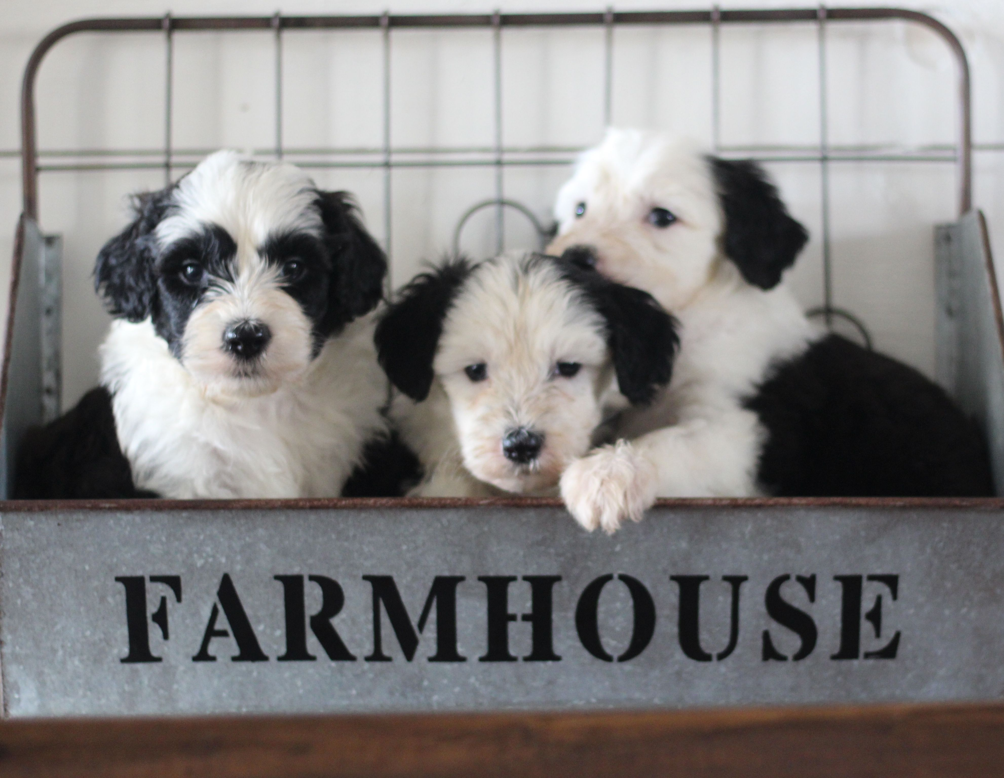 Sheepadoodle Puppies Native Doodle Farms In Oklahoma With Images
