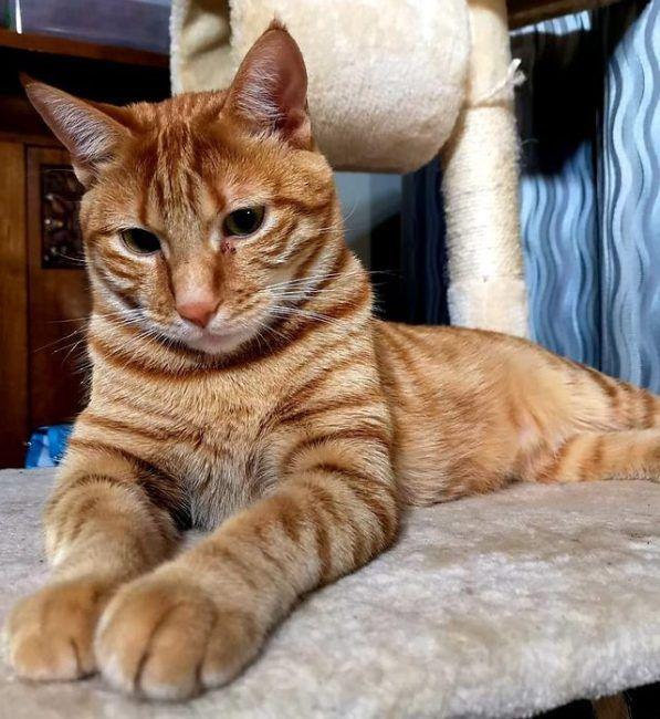 Tabby Cats Gallery tabby cats Orange tabby cats