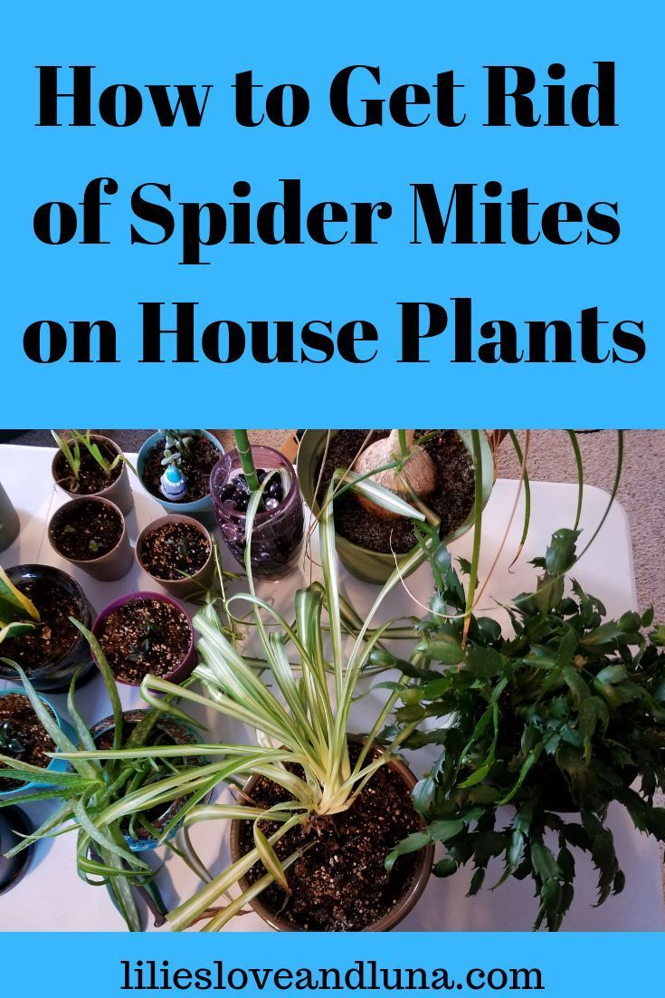 How to get rid of spider mites on house plants | Spider ...