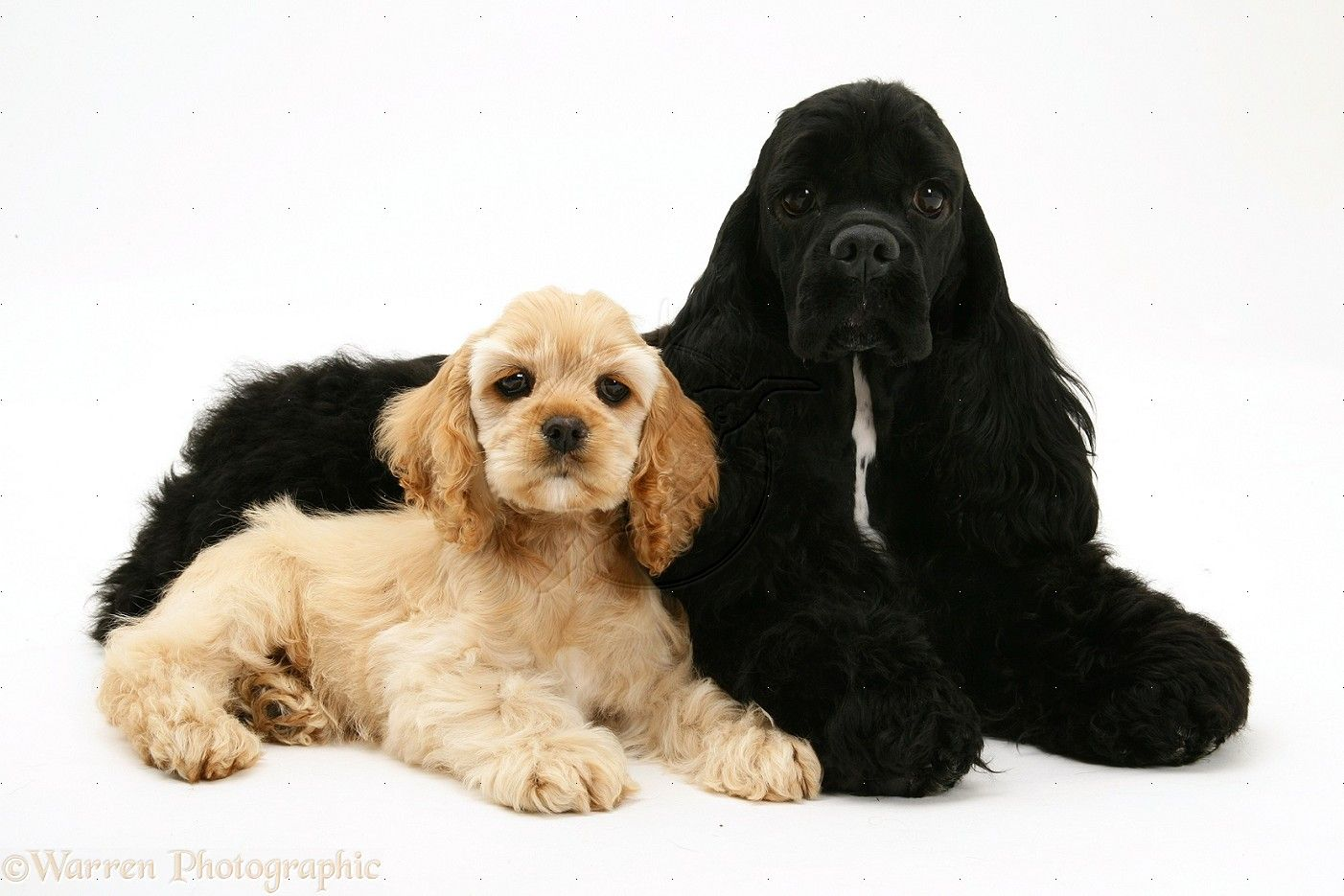American Cocker Spaniel American Cocker Spaniel Cocker Spaniel Dogs And Puppies