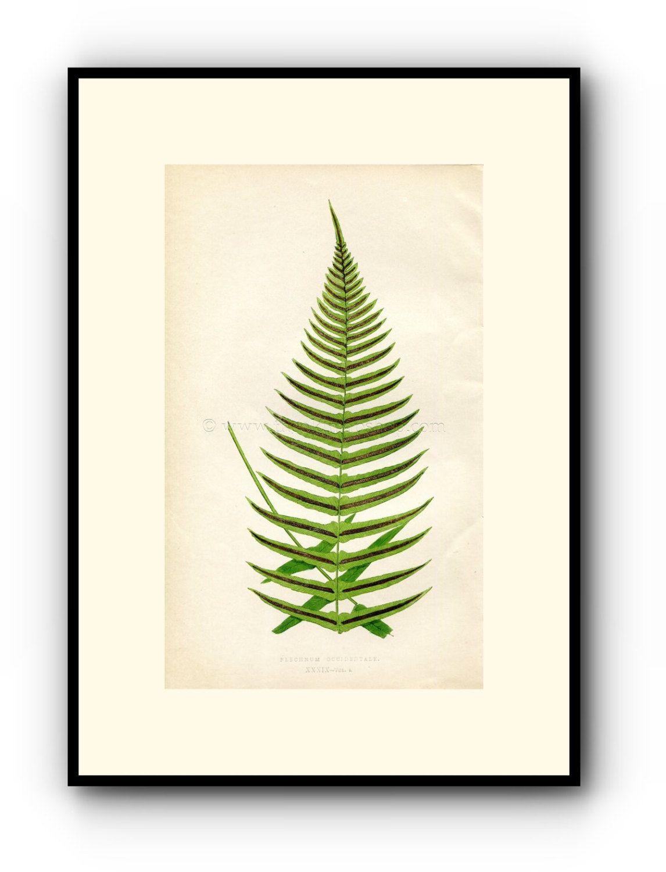 Edward Joseph Lowe Fern (Blechnum Occidentale) Antique Botanical Print, 1859 Wood Block Engraving, Book Plate by TheOldMapShop on Etsy