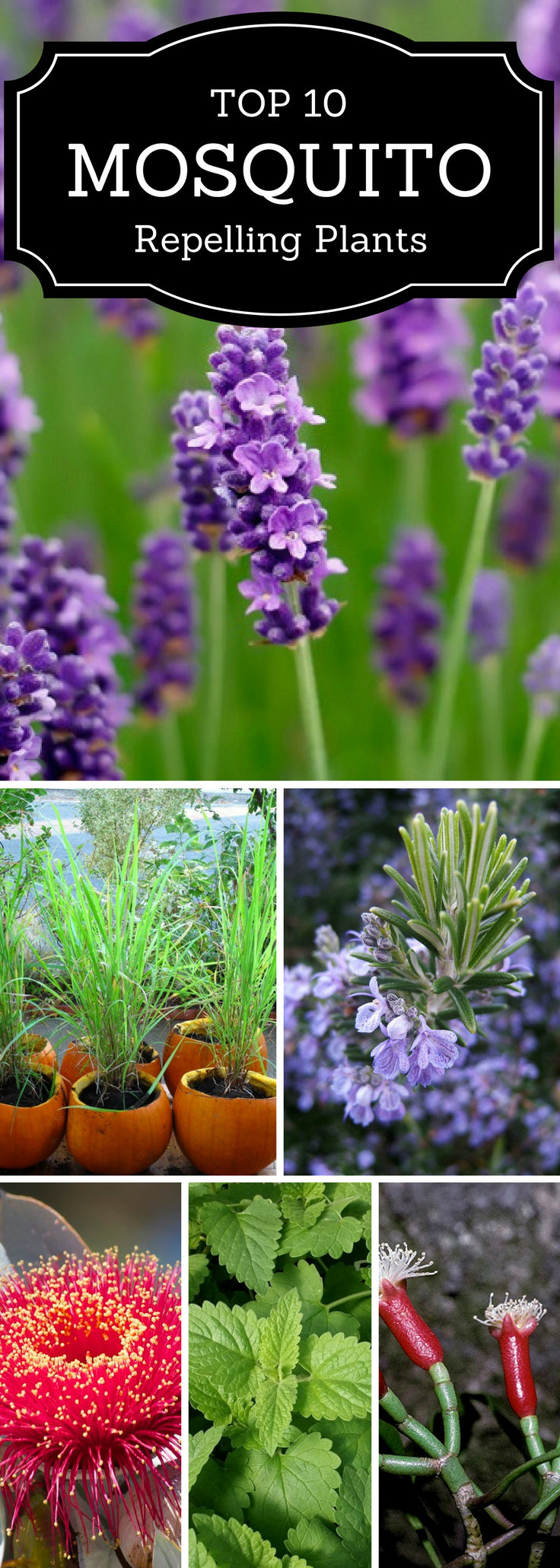 Top 10 Plants That Repel Mosquitoes | Mosquito repelling ...