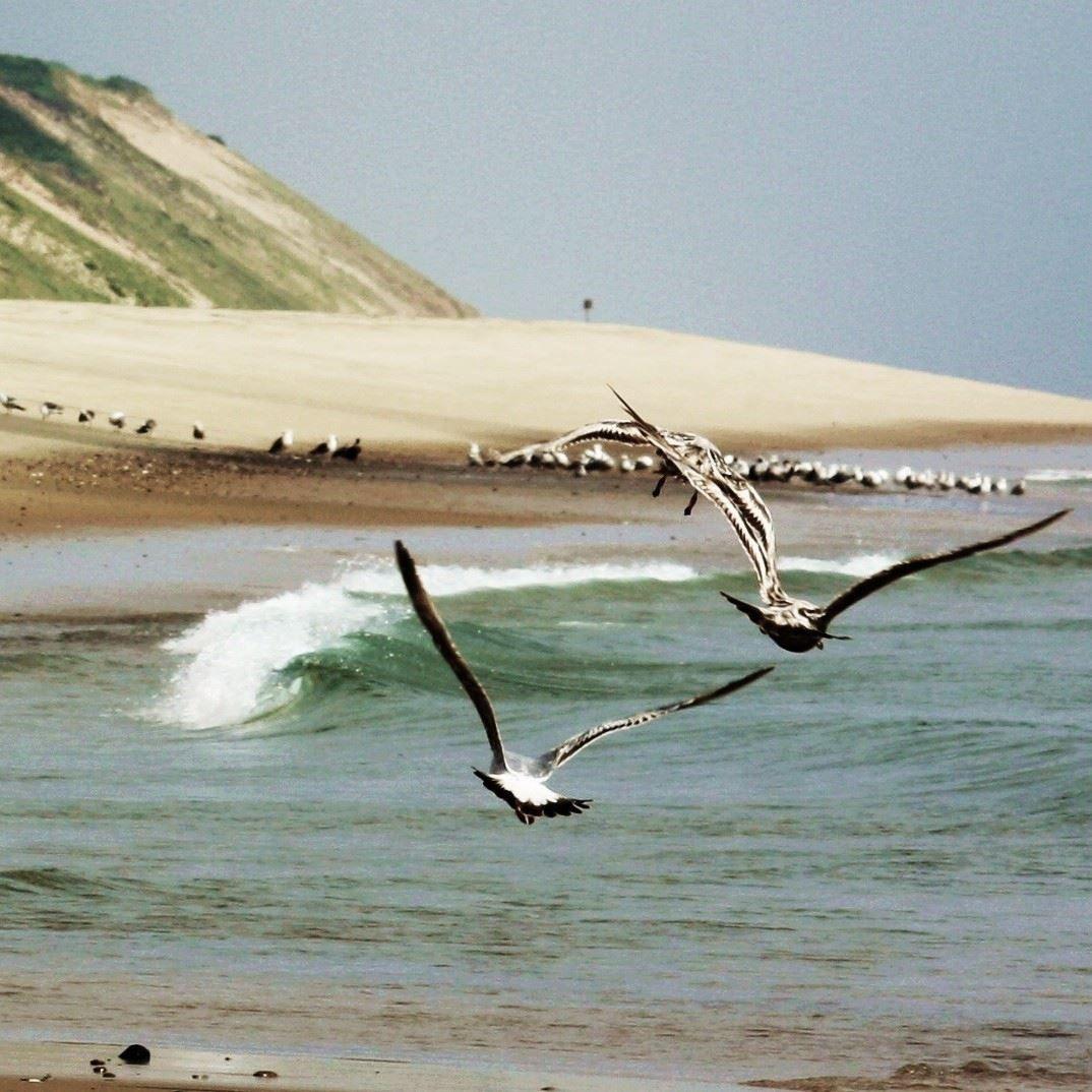Seagulls Over Cape Cod National Seashore, Wellfleet, MA