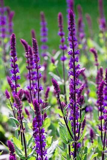 Best 25+ Purple perennials ideas on Pinterest | Flowers ...