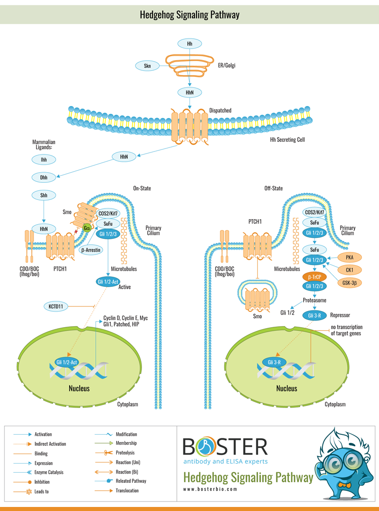 Pin on Cell Signaling Pathways