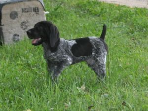 German Shorthaired Pointer Puppies In Michigan All