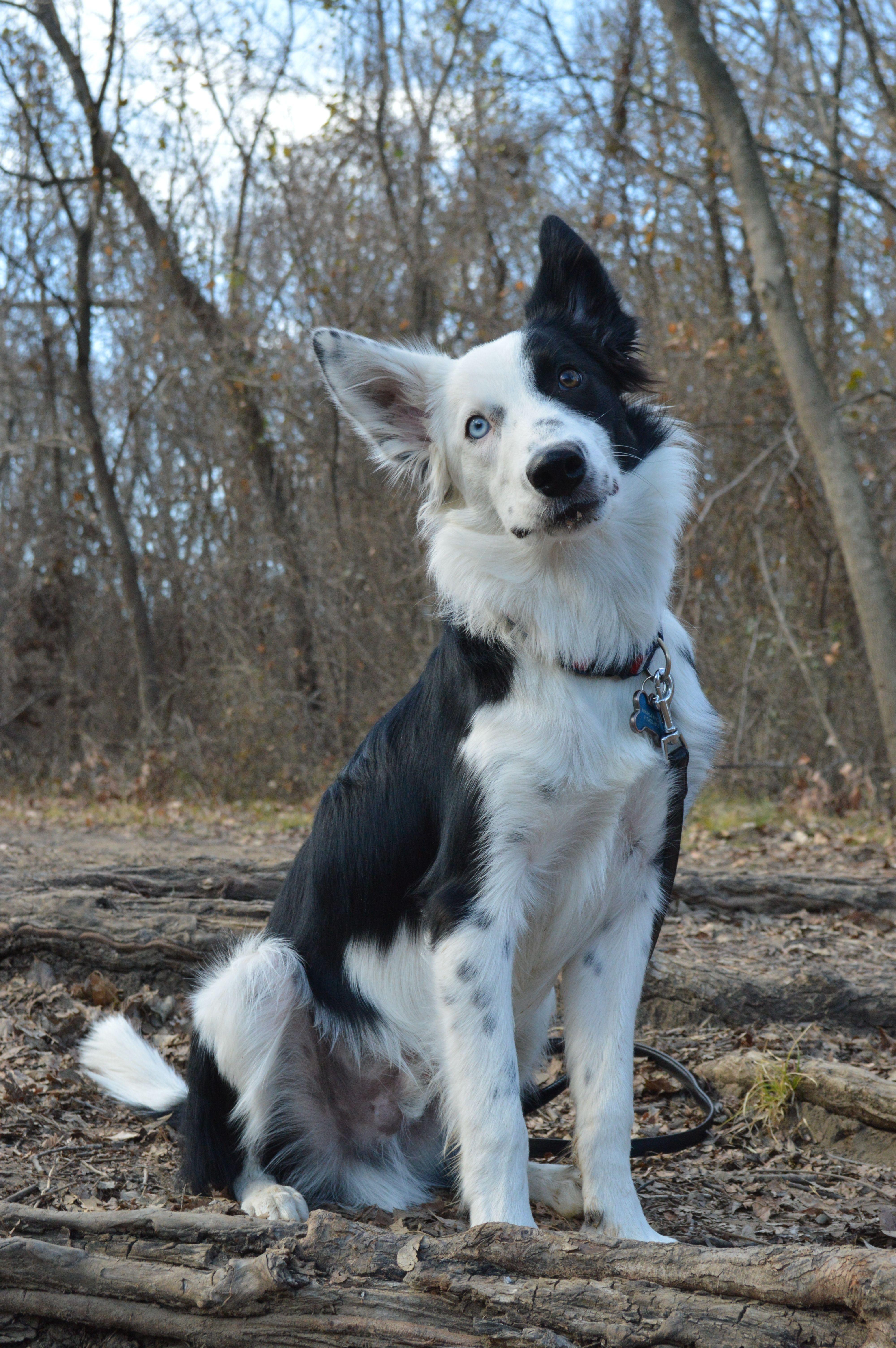 Border Collie Aero 6 Months Dog Anatomy Cite Animals Border Collie