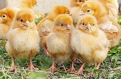 Baby Chickens 19791476 Jpg Eastern Sierra Feed Pets Pinterest