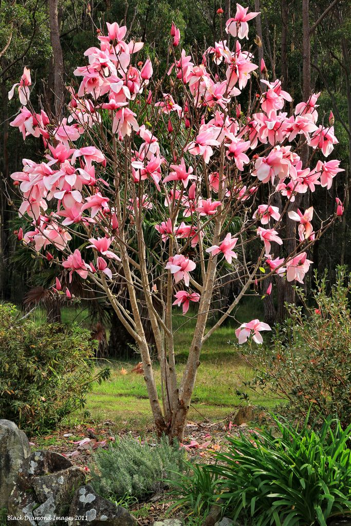 Lily Magnolia Tree For Outside Kitchen Sink Window
