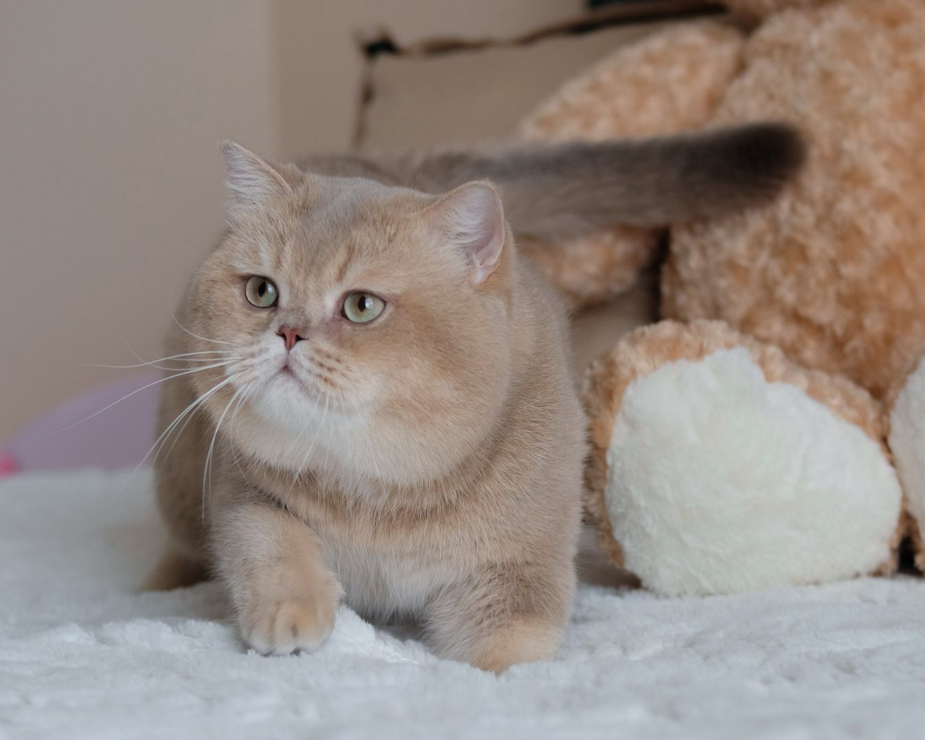 British Shorthair Longhair Cats Kittens Cats and kittens