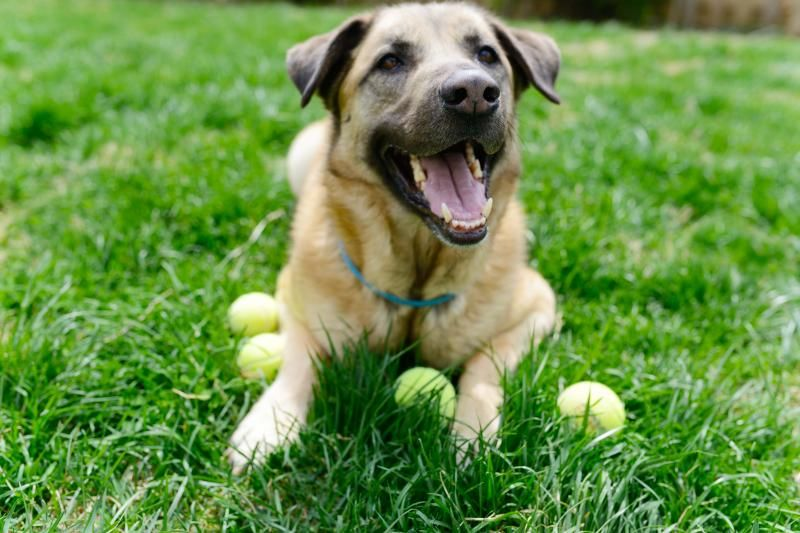 Adopt orlando on shepherd mix dog adoption information