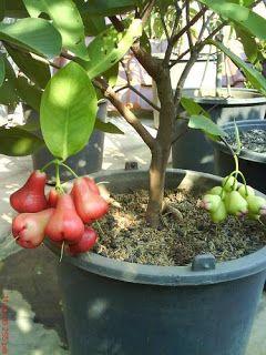 Growing Tropical Fruits Rose Apples In A Pot Fruto Da Arvore Do Jardim Jardim De Frutas Plantas Bonsai