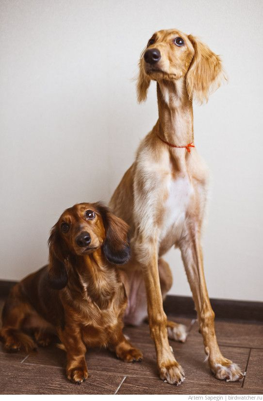 The Tall And The Short Of It A Doxie A Saluki From Russia The