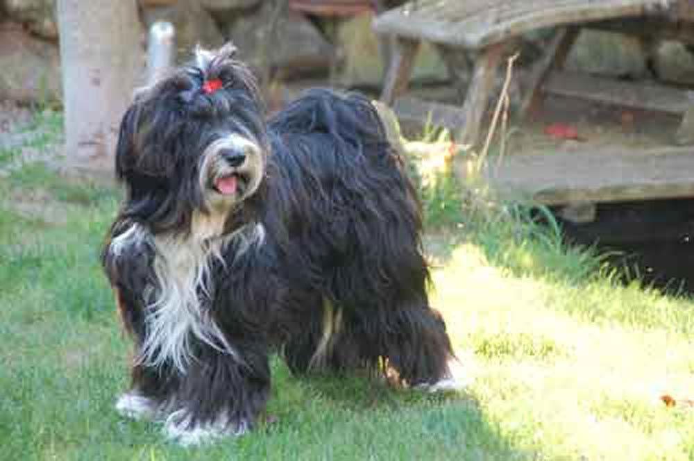 Tibet Terrier Tibet Terrier Welpe Tibet Terrier Terrier