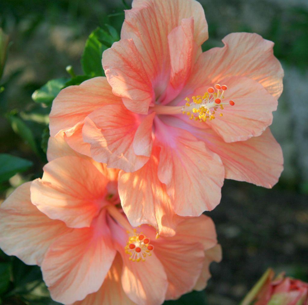 Ibisco Hibiscus Flores Bonitas Imagenes De Flores Flores
