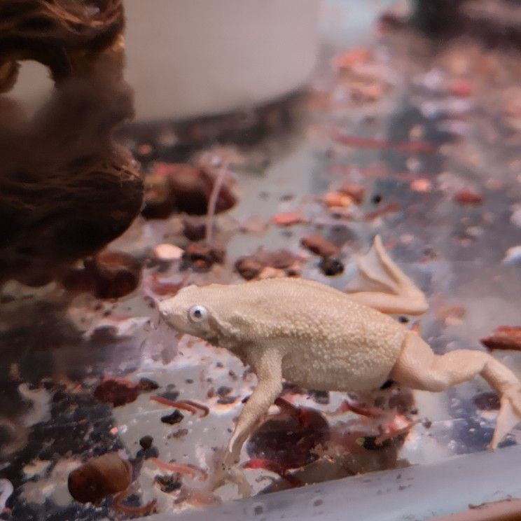 White African Dwarf Frog Dwarf Frogs Frog Animals