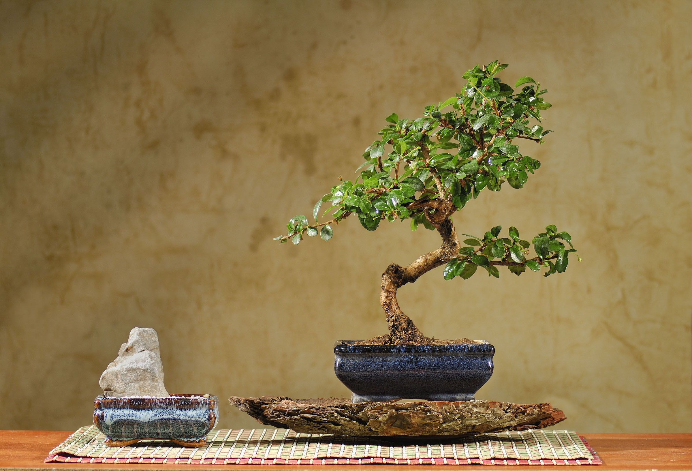 I Just Bought A Fukien Tea Bonsai Woohoo This Is A Design That I Like A Lot Of That Specific Tree Bonsai Fukien Tea Bonsai Bonsai Flower