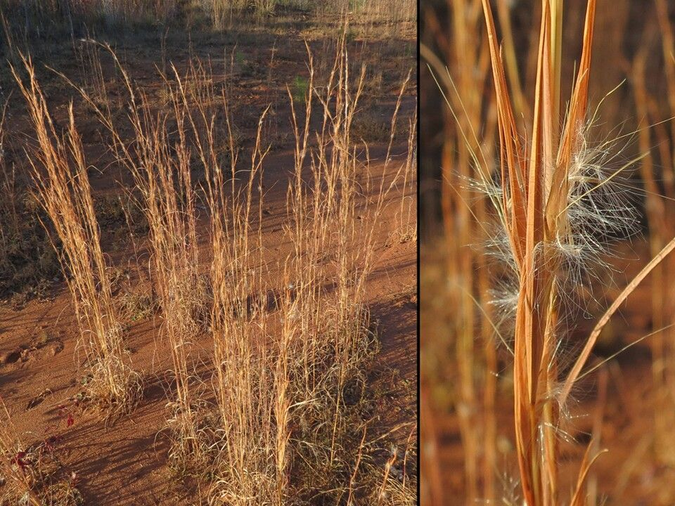 Andropogon virginicus 'broom sedge', zone 3, 1m, erect, columnar habit and  curly leaves. orange-brown color fading to straw in win… | Xeriscape, Zone  3, Brown color