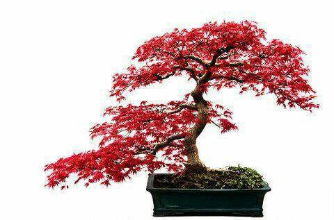 Veel 2 esdoorn bonsai zaden