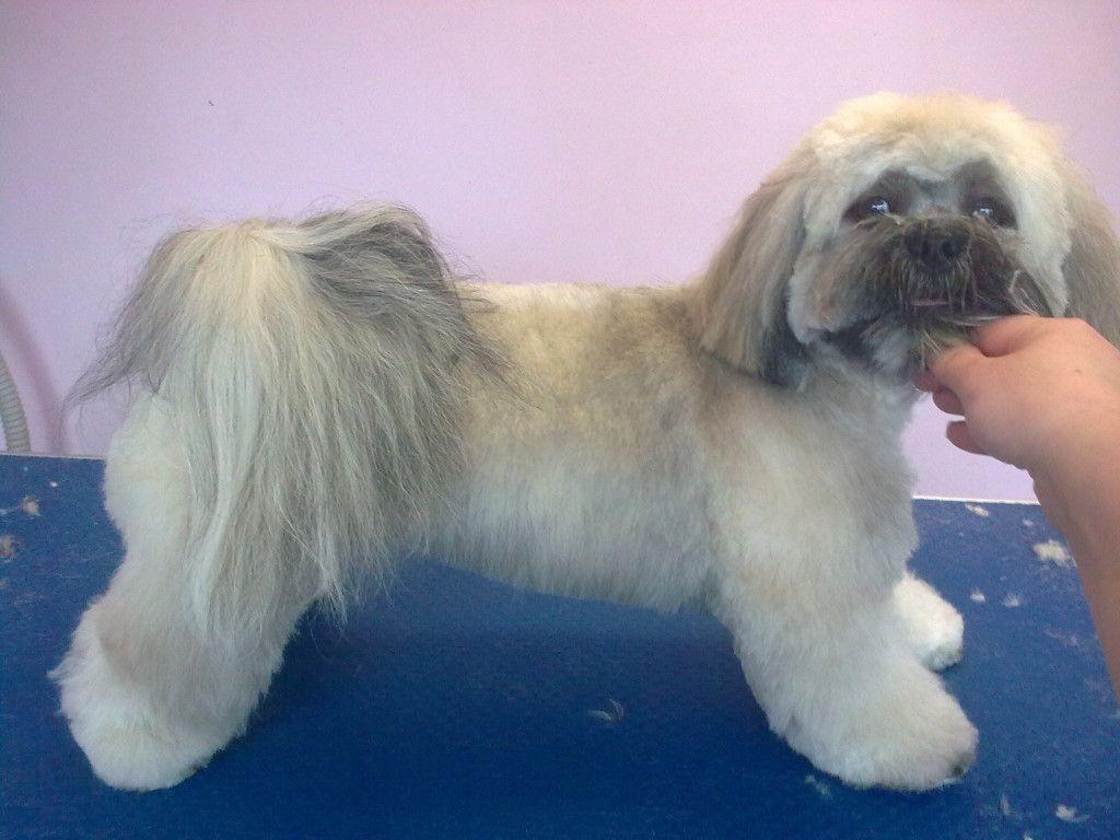 Lhasa Apso Haircuts Hairstyles Ideas Lhasa Apso Dog Haircuts Dog Grooming