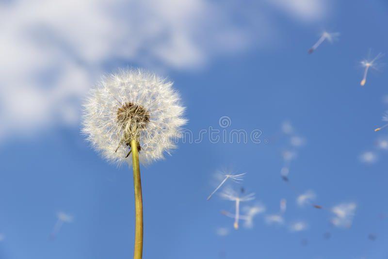Dandelion Flying Pollen Image Of A Dandelion Against Blue Sky With Flying Polle Affiliate Pollen Flying Dandelion Image Sky Dandelion Image Photo